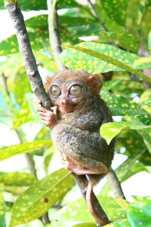 Philippine Tarsier monkey clinging on a tree