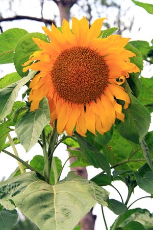 giant sunflower: giant yellow sunflower on a sunny afternoon