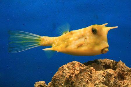 closeup of a yellow  cow fish in an aquarium