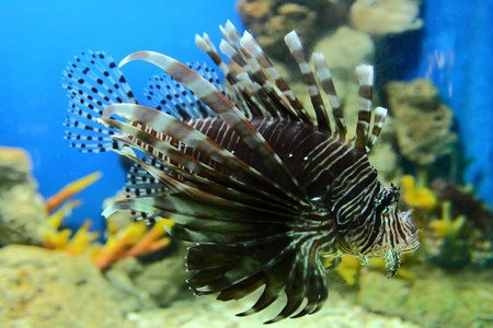 lone lion fish inside an aquarium tank  Stock Photo