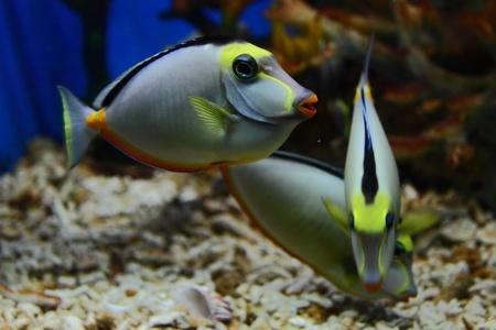 surgeon fish: pez cirujano dentro de un tanque de acuario