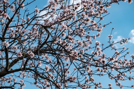 Almond blossoms on blue sky