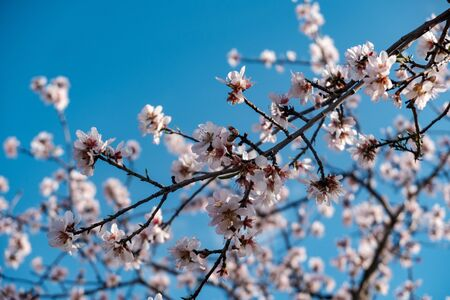 Almond blossoms on blue sky
