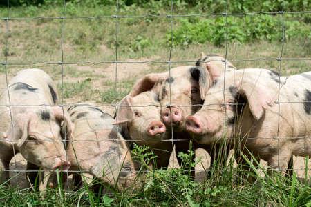 Happy Little Pigs