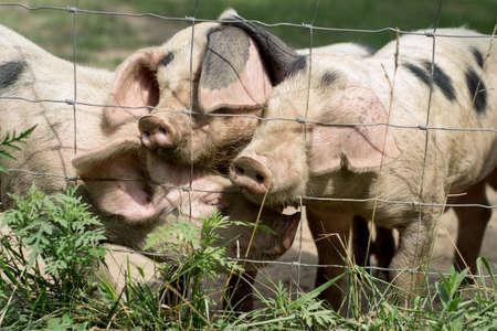 Three Little Pigs Stock Photo