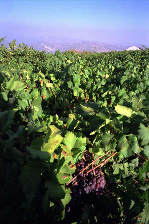Cyprus red grapes ripening in a vineyard with hills beyond photo