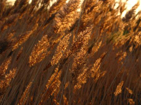 wind blown: Wind blown reeds waving in golden sunset light