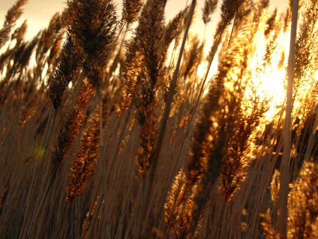 blown: Golden sunlight bursting through wind blown reeds