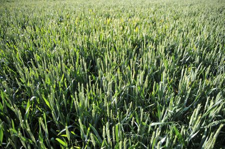 unripened: A field of unripened green bearded wheat Stock Photo