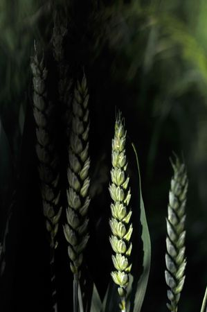 unripened: Single stalk of unripened green wheat grains highlighted by sunlight