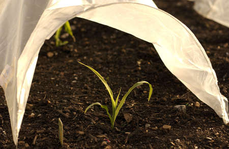 cloche: Young green plant shoots growing under a plastic cloche. Stock Photo