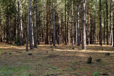 View of trees in a pine woodland forest, light shines through broken up by the trees.