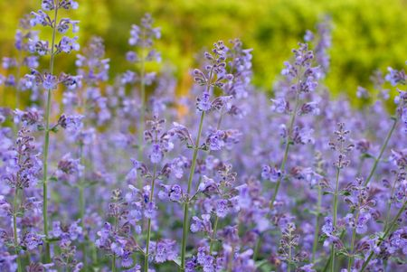 Field of Purple Wildflowers, Maryland
