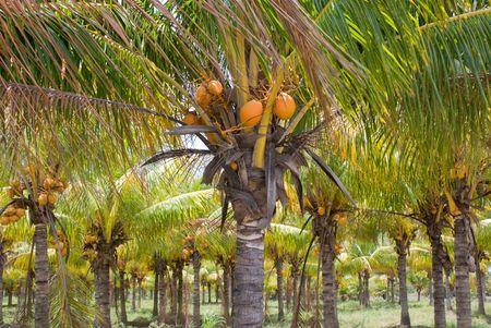 coconut palm: Plantation or Grove of Coconut Palm Trees, Florida