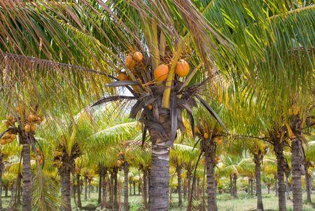 Plantation or Grove of Coconut Palm Trees, Florida