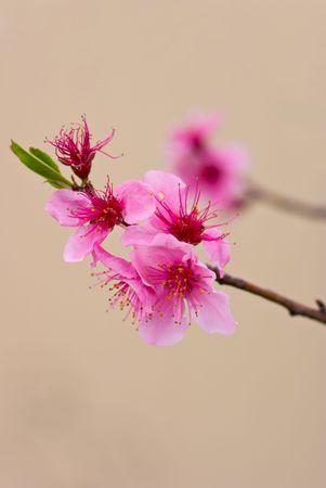 Springtime Japanese Cherry Blossoms