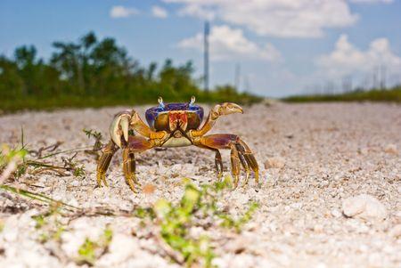 Aggressive Land Crab Eye Level View Stok Fotoğraf