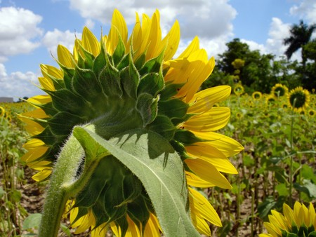Reverse View of Field of Sunflowers Under Blue Sky