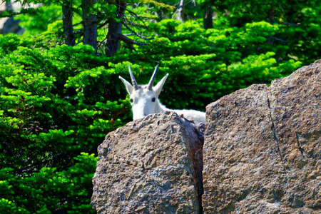 A white mountain goat peeking out from behind a rock