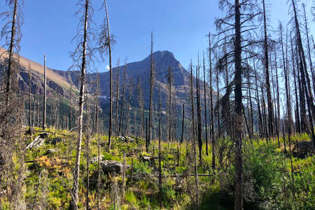 Trees left standing following a forest fire in Glacier National Park