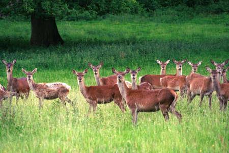 herd deer: Herd of deer looking at camera