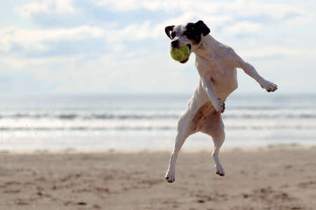 Dog jumping to catch a tennis ball on a beach Stok Fotoğraf - 15113827