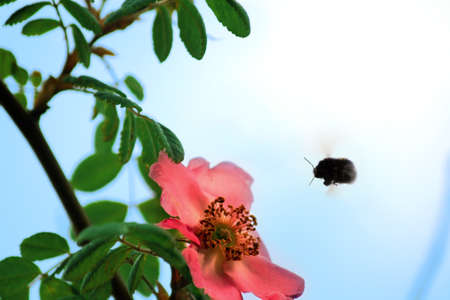 hovering: Bumble bee hovering over a red flower
