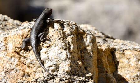desert lizard: A lizard climbing up a desert rock