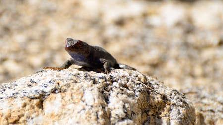 desert lizard: A lizard on a desert rock