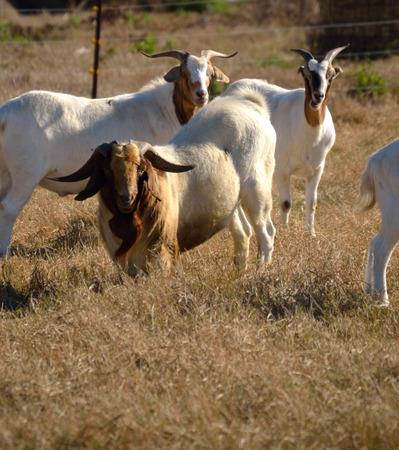 Billy met Jenny Goats