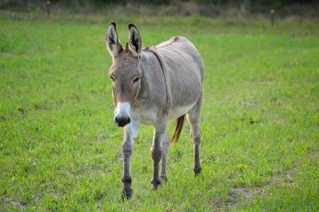 Buckskin color donkey at a local farm