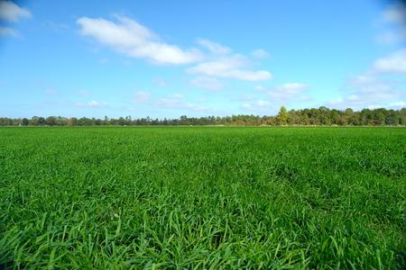 Rogge gras onder een blauwe hemel