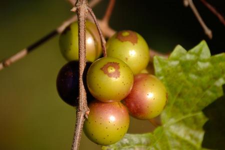 Muscadine Grapes on Vine