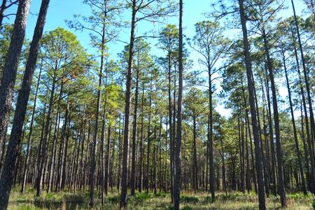 Geplant Pines Stockfoto
