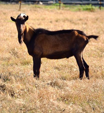 geit, boerderij, landelijk, zoogdier, weide, dier, landbouw, de landbouw, harig, ruminantia, evenhoevigen, kudde, land, veeteelt, huiselijk, boerenerf, vee, geiten, billy, boerderij