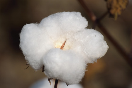 boll: Single Cotton Boll in the Field Stock Photo