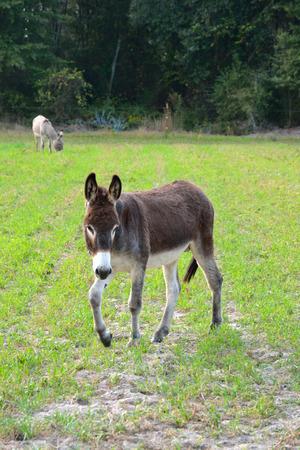 Brown Donkey in veld Stockfoto