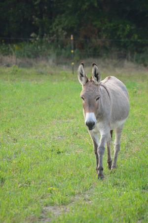 Buckskin kleur ezel op een lokale boerderij
