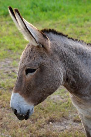 Close up of a buckskin color donkey at a local farm  Banco de Imagens