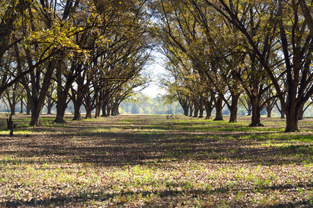pecan: Pecan Grove Stock Photo