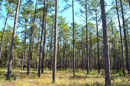 Planted Pines Stock fotó
