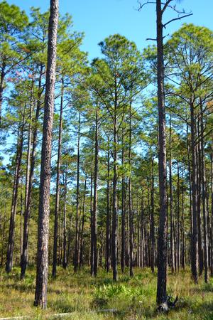Mature Planted Pines Stock fotó - 26345803