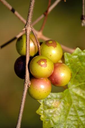 Muscadine Druiven op Wijnstok Stockfoto