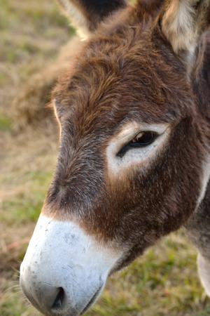 Portret van een ezel Stockfoto