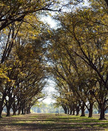 Pecan Grove Stockfoto
