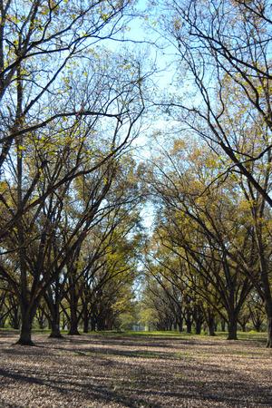 Pecan Grove met Sky Stockfoto