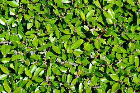 Hedge Achtergrond van Bladeren