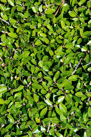 Hedge Bladerenachtergrond Stockfoto