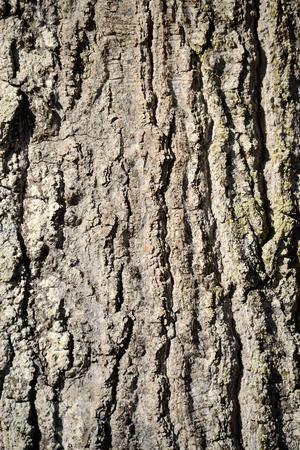 Oak Tree Bark Close-up