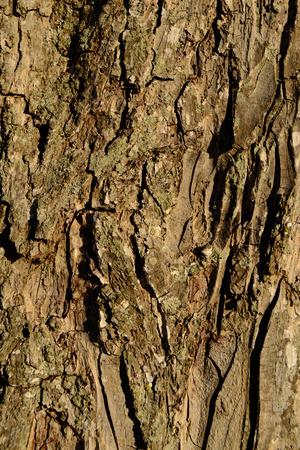 Pecan Tree Bark Achtergrond Stockfoto